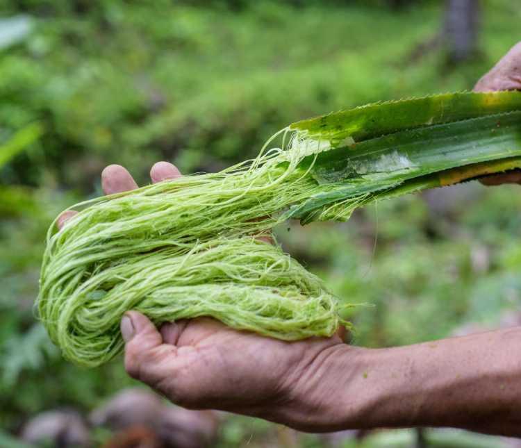 serat daun nanas untuk kerajinan